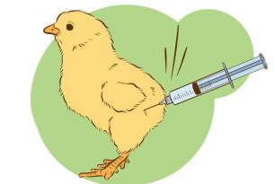 Pflichtimpfung gegen die Newcastle-Krankheit (16.04.2016)