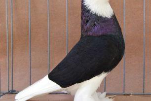 Tauben und Hühnerimpfung